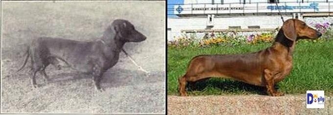 Hình ảnh chó lạp xưởng cách đây hơn 1 thế kỷ. Ngày nay, giống chó này có lưng quá dài, chân ngắn sát đây trông rất bất thường.