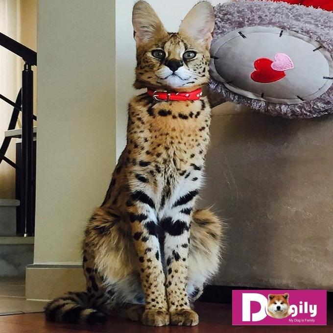 Mặc dù có bộ lông ngắn. Nhưng mèo Savannah vẫn cần được chăm sóc bộ lông thường xuyên