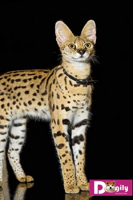 Mèo Savannah có kích thước cao lớn, mạnh mẽ. Với đôi chân dài miên man. Giống mèo này rất được giới quý tộc, thượng lưu trên thế giới yêu thích