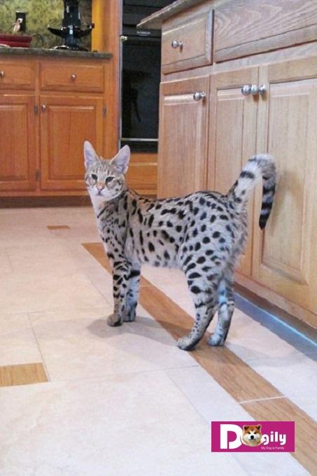 Mèo Savannah có thể mắc một số chứng bệnh di truyền. Đặc biệt là bệnh viêm cơ tim