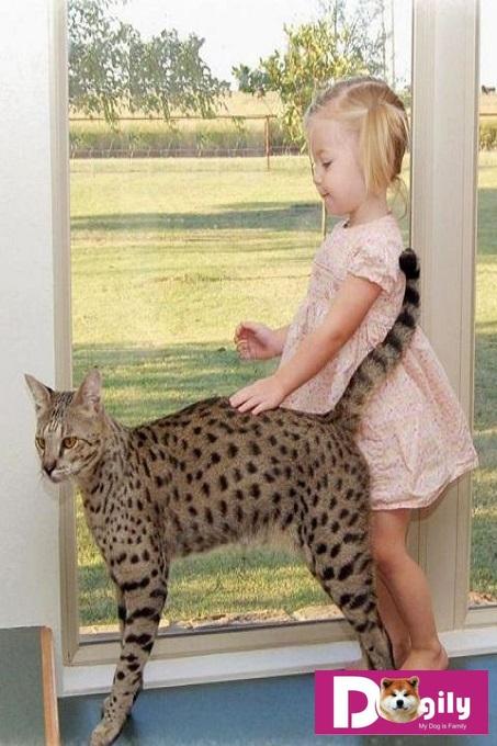 Mặc dù có thân hình rất to lớn. Nhưng mèo Savannah rất thân thiện với trẻ em và cả người lạ