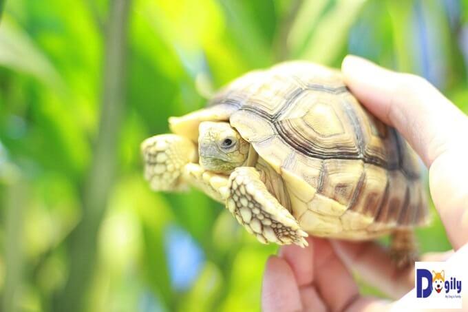 Bạn hoàn toàn yên tâm và tin tưởng khi lựa chọn mua rùa Sulcata tortoise của Dogily Petshop. Toàn bộ rùa đều được chúng tôi nhập khẩu trực tiếp từ Thái Lan.