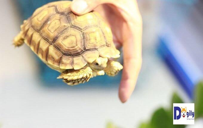 Bán rùa sulcata size 10 cm tại Dogily Petshop. Đường nét hoa văn trên mai cực đẹp. Màu sắc rực rõ. Ngoan, khỏe, ăn tốt, ngủ tốt.
