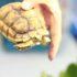 Rùa sulcata tortoise: Thông tin, cách nuôi và chăm sóc. Kinh nghiệm mua bán rùa sulcata giá rẻ tại tphcm, hà nội