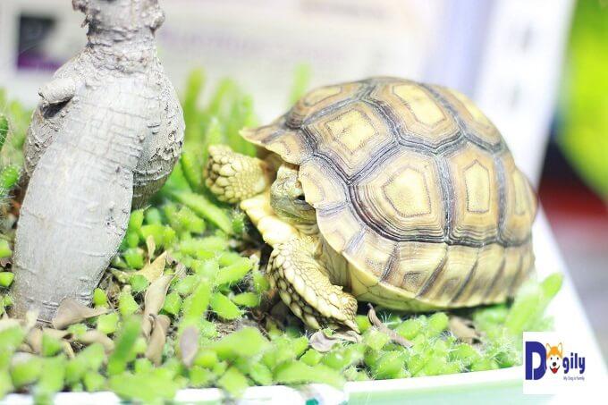 Giá rùa sulcata tortoise phụ thuộc và kích thước và độ tuổi. Hình trên là một bé size 10 của Dogily Petshop.