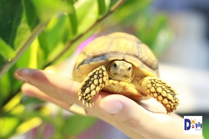Giá rùa sulcata cũng phụ thuộc vào nhiều yếu tố khác như giới tính, ngoại hình và mùa vụ...