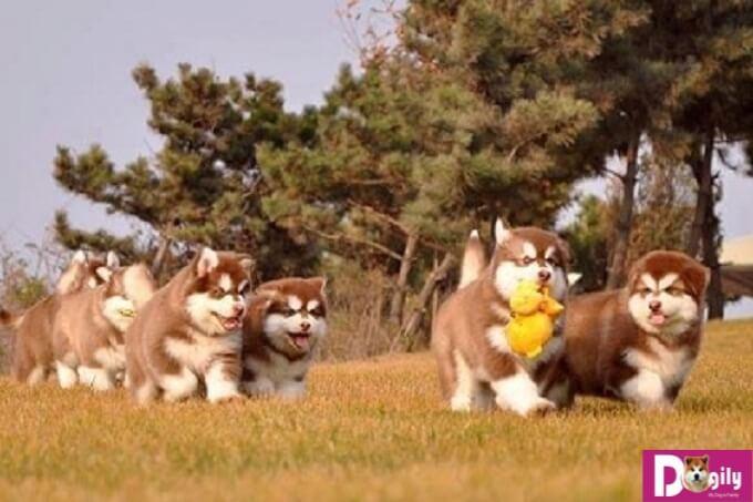 Kinh nghiệm huấn luyện chó Alaska cơ bản cực đơn giản
