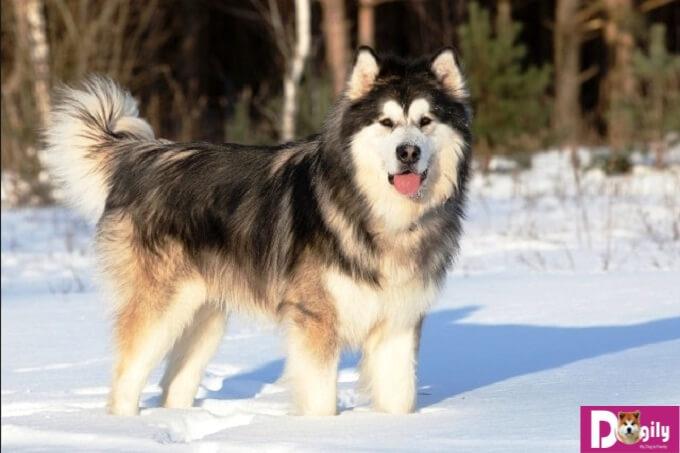 Chú chó Alaska với thân hình to lớn nơi xứ lạnh