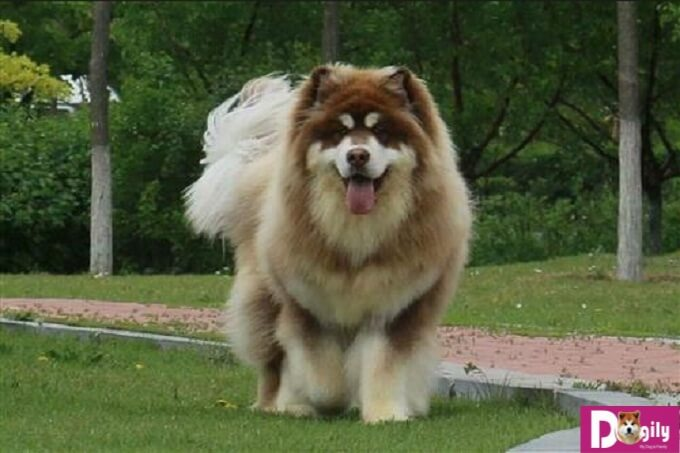 Huấn luyện thật tốt cho chú chó Alaska để chúng trở nên thông minh tự tin hơn