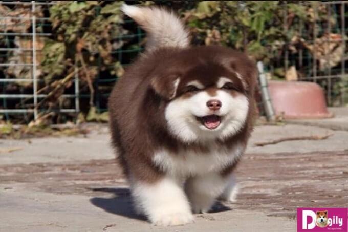 Cũng như bao giống chó khác, bạn cần kiên nhẫn với chú Alaska của mình vì đâu phải cứ dạy là chúng hiểu ngay đâu