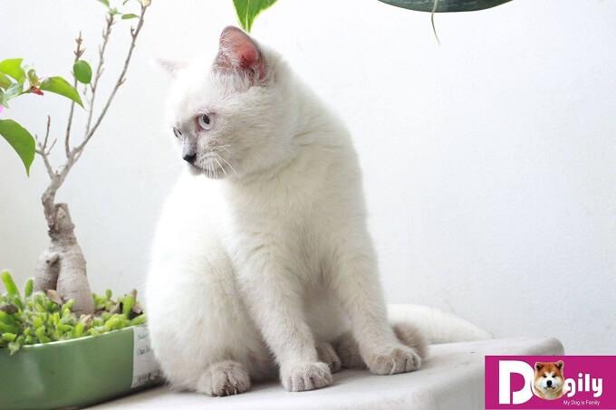 Bạn nên chọn mua mèo Hymalaya con thuần chủng từ những nhà nhân giống và những người bán có uy tín