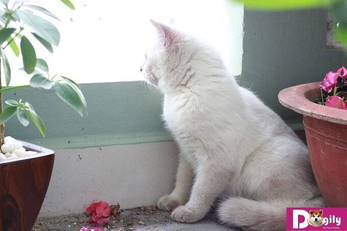 Hợp đồng mua bán, sổ tiêm , giấy bảo hành, hướng dẫn chăm sóc mèo hymalaya con