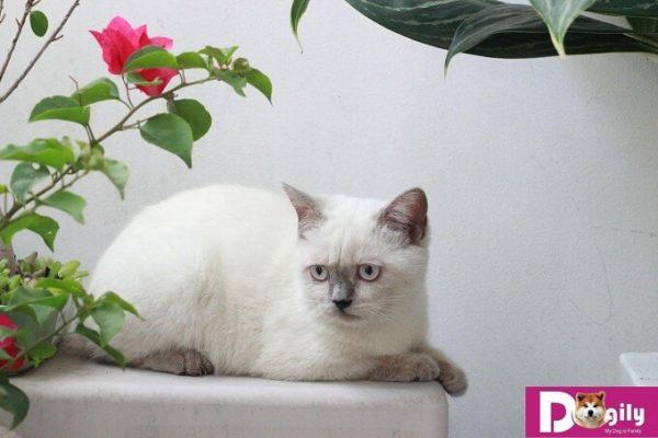 Bạn có thể mua mèo Hymalaya tại các điểm bán của Dogily Petshop tại Hà nội và Tphcm, mua online hoặc trực tiếp tại trang trại Dogily KennelThis is the image description