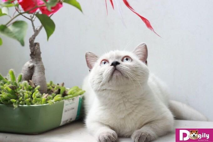 Bán đàn mèo Hymalaya tháng 1 cực yêu
