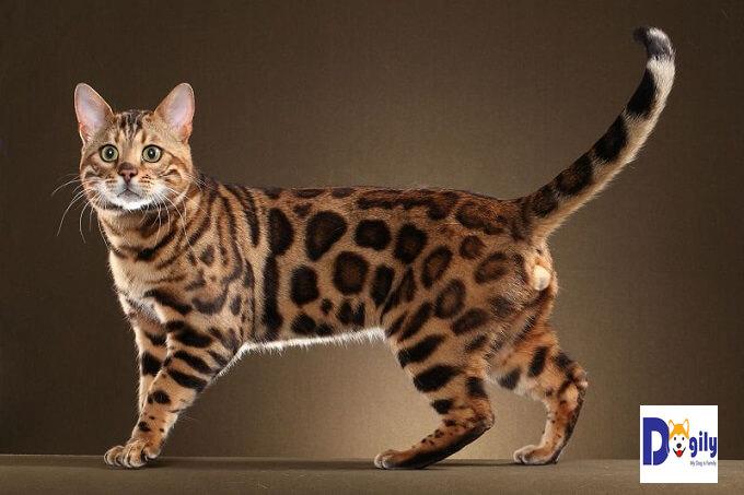 Mèo Bengal là sản phẩm lai tạo giữa mèo nhà và Mèo báo châu Á