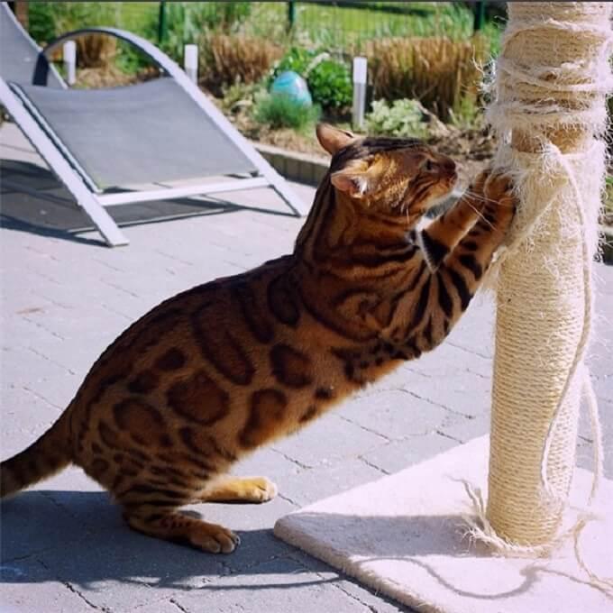 Bạn cần mua cây cào móng để mèo thường xuyên cào móng chân. Tránh để móng mọc quá dài gây ảnh hưởng đến việc di chuyển và có nguy cơ bị chấn thương hay viêm nhiễm, bẩn.