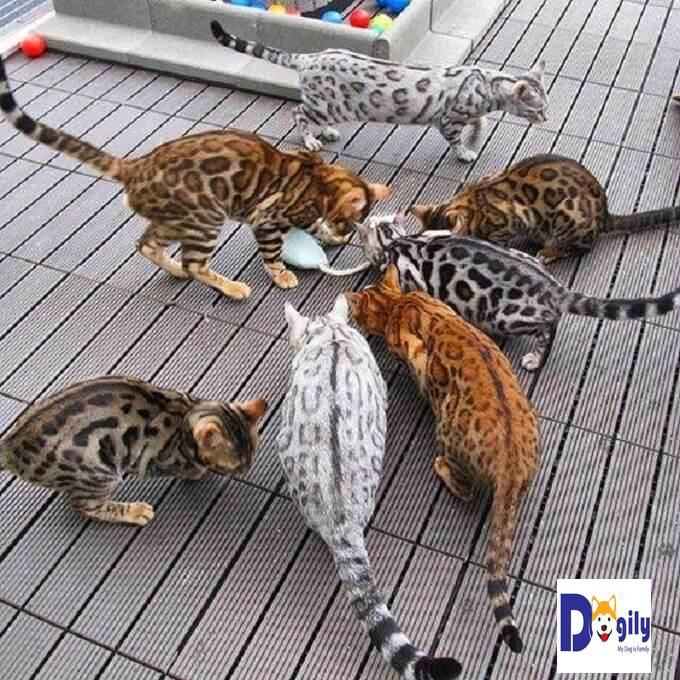 Mèo Bengal có bộ lông với màu sắc rất đa dạng và phong phú. Bộ lông mang nhiều nét hoang dã làm người ta dễ liên tưởng ngay đến loài báo trong rừng nguyên sinh