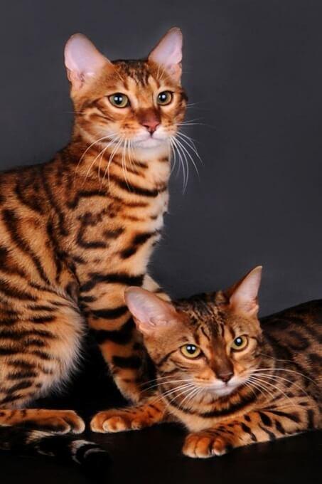 Mèo bengal có một cơ thể mạnh mẽ, cường tráng và cơ bắp. Nhưng cũng rất uyển chuyển, linh hoạt