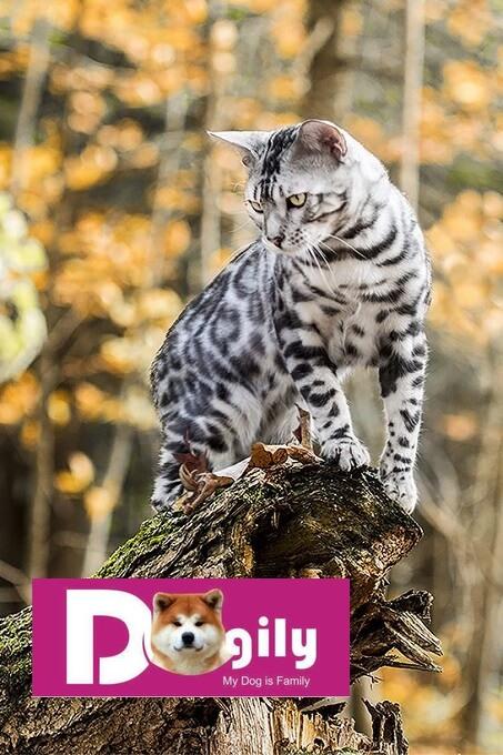 Mèo Bengal xuất hiện lần đầu vào những năm 1950s của thế kỷ trước