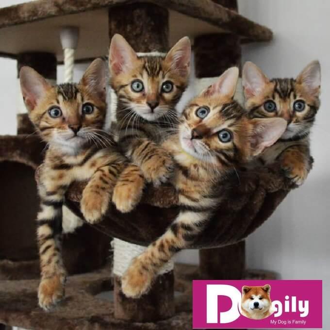 Giá bán mèo Bengal phụ thuộc vào nguồn gốc, phả hệ, vẻ đẹp ngoại hình từng bé. Vì vậy mèo Bengal có giá dao động khá lớn