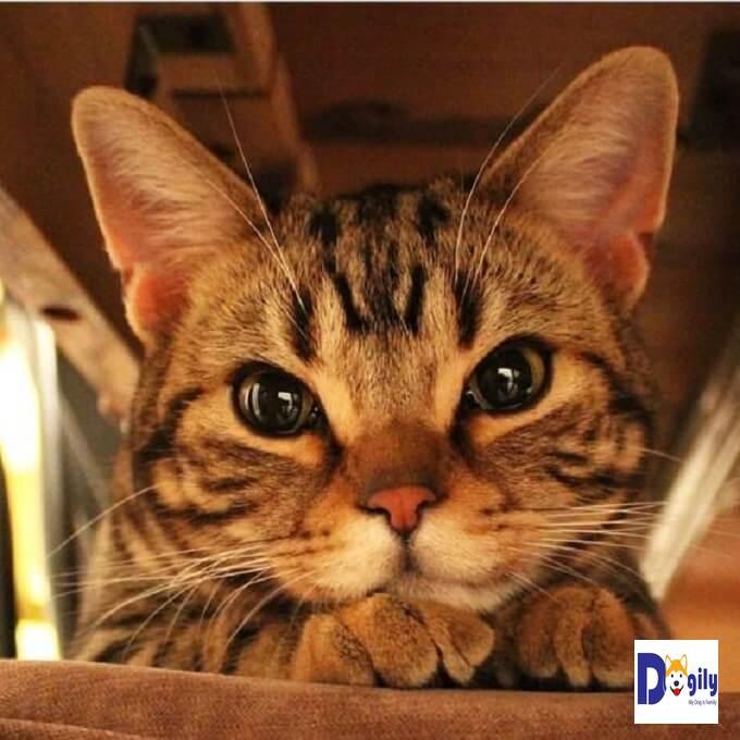 Bạn có thể đặt mua mèo Bengal con online hoặc tại hệ thống các cửa hàng của Dogily Petshop tại Hà Nội và HCM