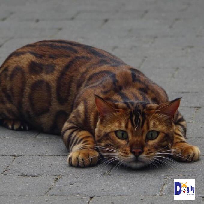 Bạn nên có chế độ ăn uống hợp lý cho mèo Bengal để tránh bị chứng béo phì. Dễ dẫn đến các chứng bệnh về tim mạch, xương khớp