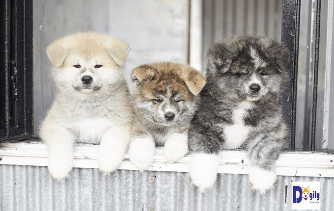 Hình ảnh những chú chó thuần Nhật tuyệt đẹp tại quê hương chó Akita Inu