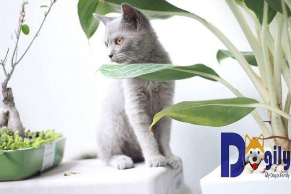 Bán mèo Anh lông ngắn màu xám blue đang có sẵn tại shop