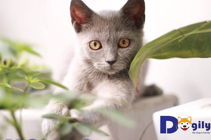 Bán đàn mèo Anh lông ngắn cực đẹp tháng 1