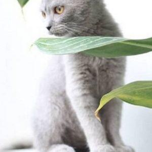 Bán đàn mèo ALN quyến rũ và dễ thương