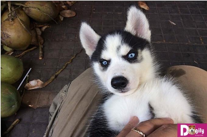 Đôi mắt xanh góp phần tạo nên khuôn mặt ngáo của Husky