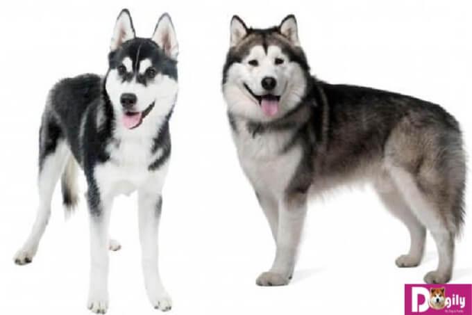 """Chó husky và Alaska có gương mặt khác tương đồng nhưng cũng rất dễ nhận biết. Alaska thì có phần điềm đạm và nghiêm túc còn Husky thì lại khá """"nhây"""""""