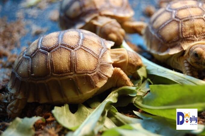 Tuyệt đối không cho rùa Sucata ăn thịt.