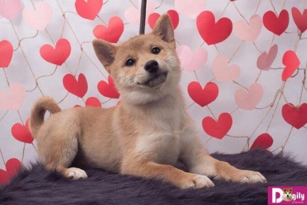 Bạn có thể mua chó shiba inu tại hệ thống của Dogily Petshop tại Hà Nội và Tphcm