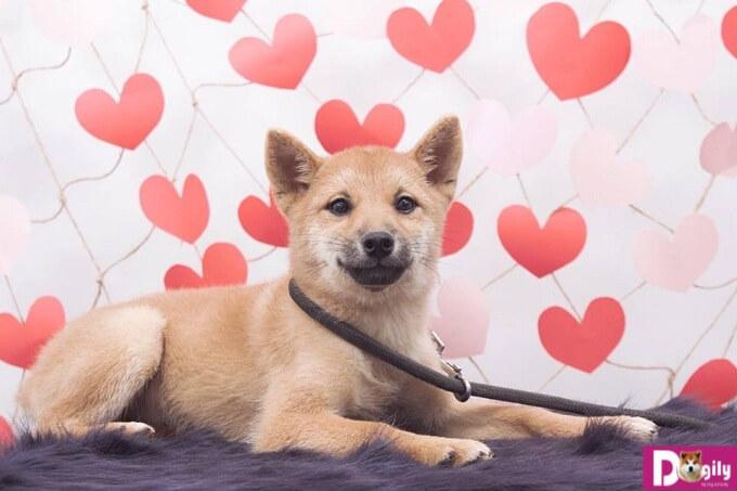 Hợp đồng mua bán, sổ tiêm , giấy bảo hành, hướng dẫn chăm sóc chó Shiba con