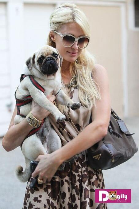 Chó Pug ngày nay rất được mọi người ưa chuông. Kể cả các ngôi sao hàng đầu thế giới như Paris Hilton hay Jessica Alba đều sở hữu Pug. Nhưng ít ai biết đươc đằng sau ánh hào quang đó là cả một lịch sử nhân giống, lai tạo đầy bi kịch của giống chó này.