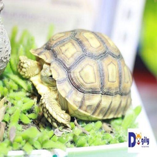 Rùa Sulcata tortoise đang bán tại Dogily Petshop Hà Nội và Tphcm.