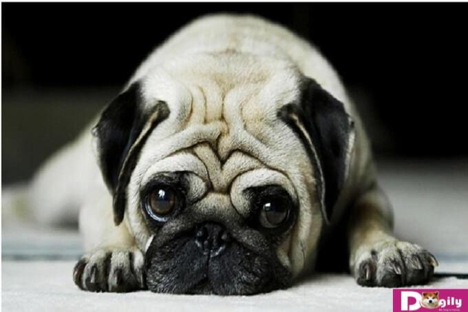 Tình trạng bọ chét trên chó là gì?