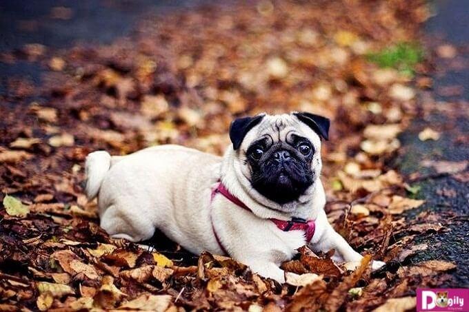 Kinh nghiệm nuôi chó Pug hiệu quả mà đơn giả nhất