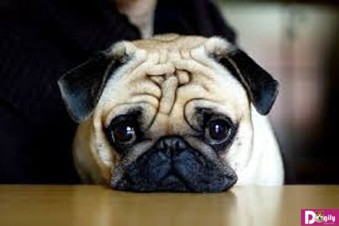 Nên chọn chó pug rõ nguồn gốc, khỏe mạnh từ những cơ sở bán chó uy tín hay những trang trại chuyên về giống này