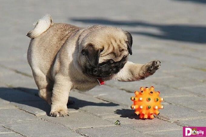 Tạo cho Pug một không gian vui chơi, chạy nhảy để rèn luyện sức khỏe cho cún