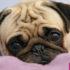Những căn bệnh của chó Pug bạn thường gặp khi nuôi chúng.