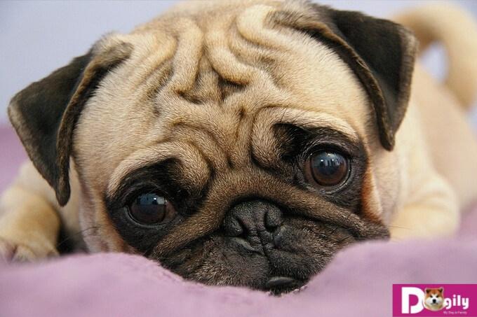 Với một đôi mắt to tròn và hơi lồi nên chó Pug rất dễ mắc những bệnh về mắt