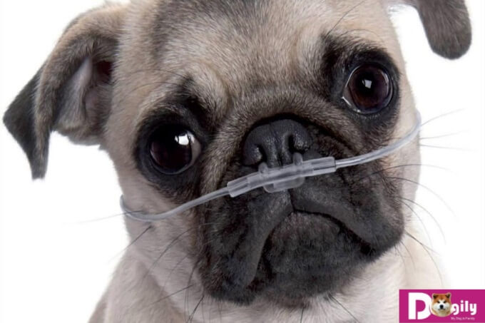 Các bệnh của chó Pug thường gặp chủ yếu do cấu trúc hộp sọ