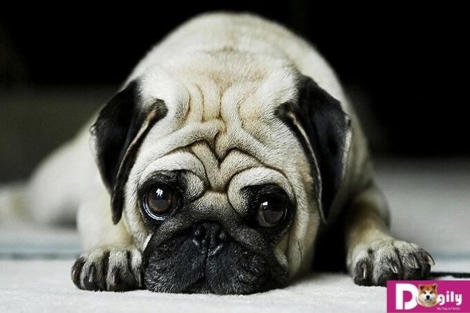 Với cấu tạo đặc biệt của hộp sọ nên chó Pug cũng hay mắc bệnh liên quan đến mũi và mặt