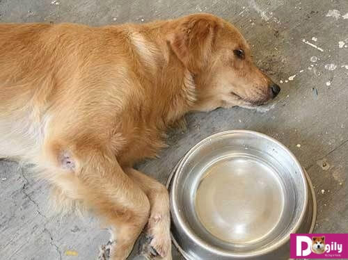 Tìm hiểu nguyên nhân để có cách điều trị khi chó bị co giật