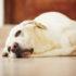 Tư vấn trị bệnh đường ruột ở chó hiệu quả