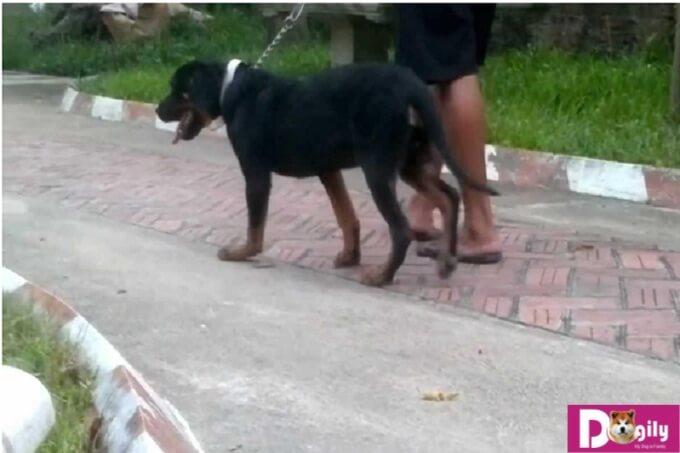 Dắt chó đi dạo nhiều khi chó bị hạ bàn