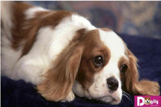 cần có chế độ dinh dưỡng hợp lý khi chó bị hạ bàn