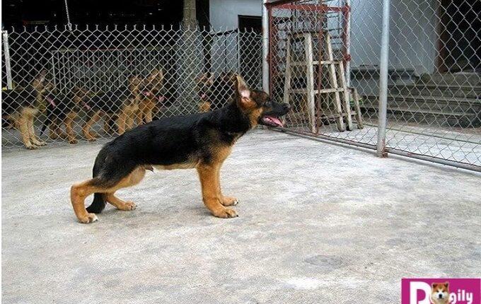 Cần làm rõ nguyên nhân khi chó bị hạ bàn